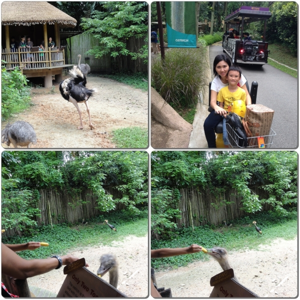 Ostrich Feeding Session, do you know that ostrich eat bananas and are afraid of the cassowary? They're bigger but afraid when the cassowary chase them, they prefer not to get their food that getting chased by the smaller bird