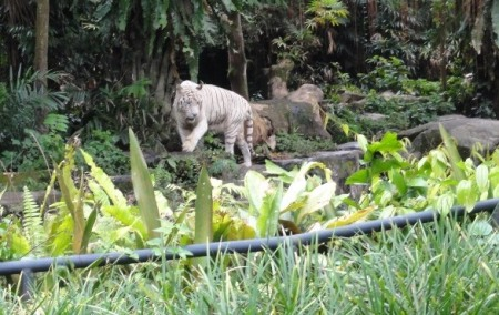The famous white tiger