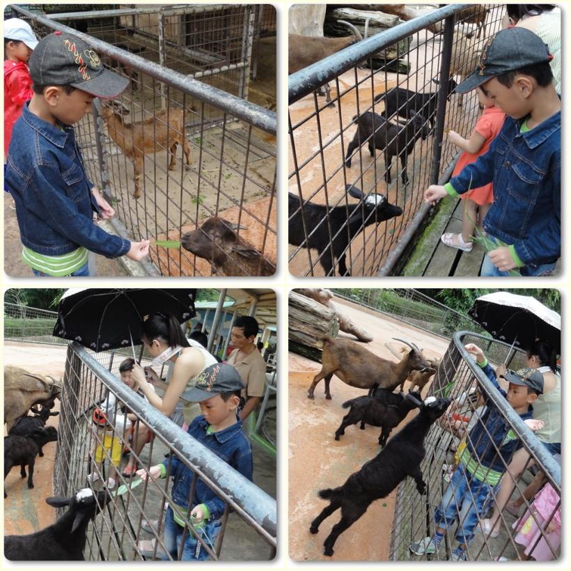 Goat Feeding Singapore Zoo