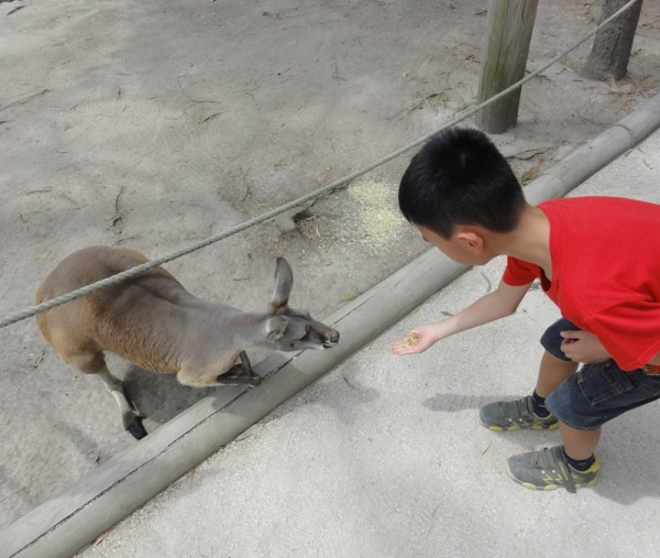 He liked feeding the kangaroo a lot