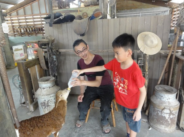 He loved to give milk to the baby goat (kid) although he was frightened of the aggressive and hungry