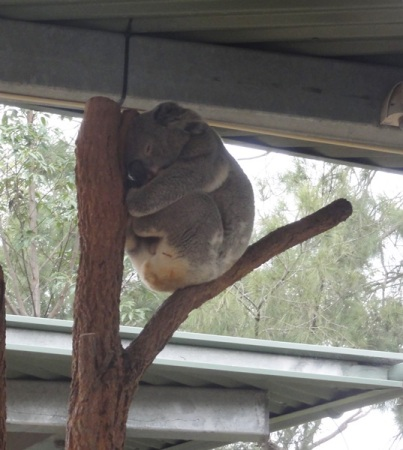 The only koala that we saw..........and he was sleeping...........