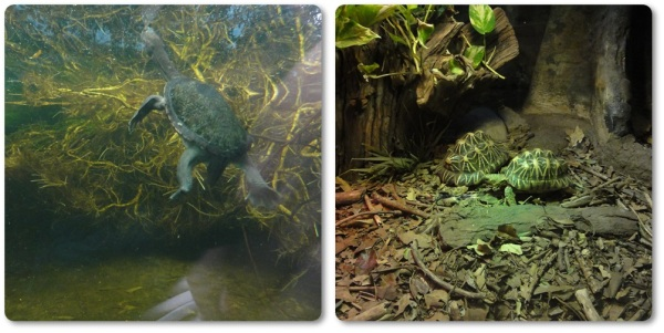Left: Northern Snake Necked Turtle