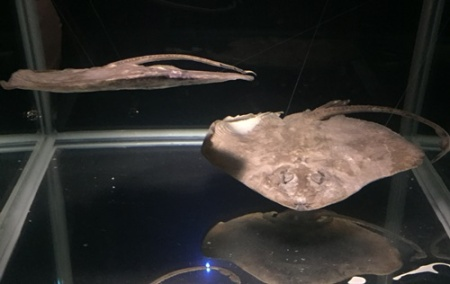 This ray is only found in Southwest Pacific between 300 and 1200 M deep