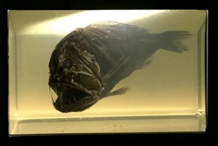 Predator lives beneath 1000 M