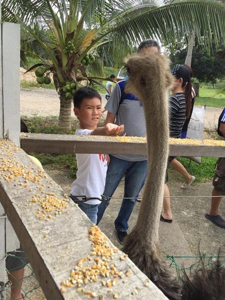Ostrich feeding..........