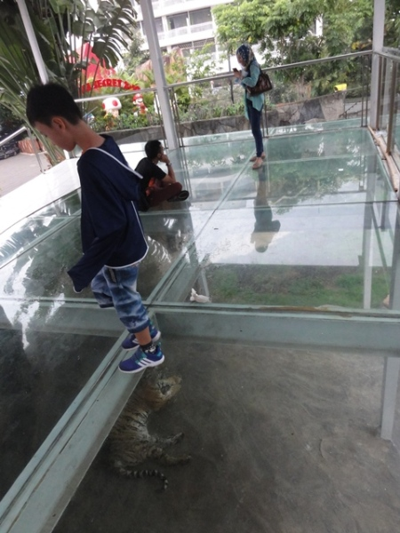 Glass viewing platform. It was quite scary to see the tiger from here