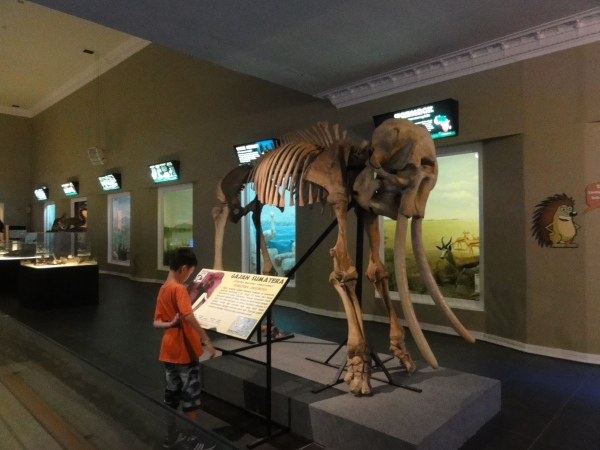 An elephant fossil...........see how small it is compared to the big and live elephant?