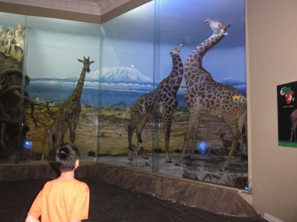 The boy was admiring the giraffe collections